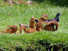 Close-up Of Pigeons And Squirrel On Grassy Field