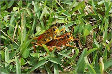High Angle View Of Grasshoppers Mating On Grassy Field