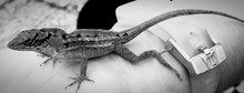 Panoramic View Of Lizard On Person Hand