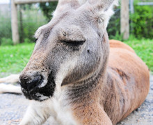 Close-up Of Kangaroo Relaxing On Field