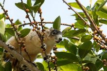 Light Tan Fox Squirrel Sciurus Niger Eats Berries