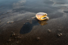 A Tiny Seashell Backlit By The...