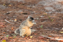 Brown Fox Squirrel Sciurus Niger Eats Nuts On The Ground