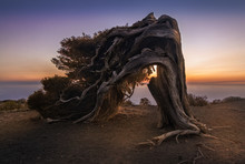 An Old Juniper Tree Twisted By...