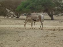 Somali Wild Ass (Equus Africanus Somaliensis) At Hai Bar Israel