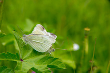 Close-up Of White Butterflies Mating On Plants