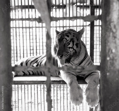 Tiger Relaxing In Cage Canvas-taulu