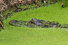 High Angle View Of Crocodile In Algae Covered Lake