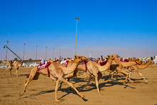 Traditional Camel Dromadery Ra...