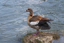 Egyptian Goose Or Alopochen Ae...