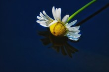 Close-up Of Daisy In Pond
