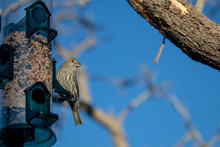 Female House Finch At The Bird Feeder