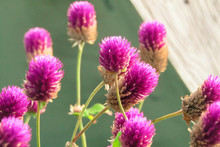 Close-up Of Purple Thistle