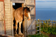 Clydesdale Horse At Barn Door ...