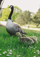 Close-up Of Canada Goose With Goslings On Field