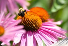 Close-up Of Bumble Bee Pollinating On Eastern Purple Coneflower