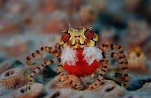 Mosaic Boxer Crab (Lybia Tesse...