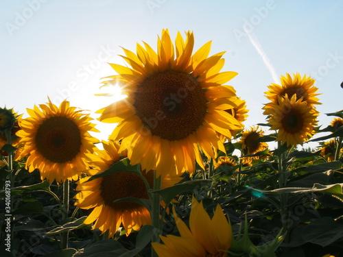 Fototapety, obrazy: Close-up Of Sunflower