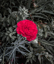 Lonely Red Carnation In Garden