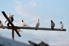 White Domestic Pigeons Sit On A Perch And Fly Up To The Sky
