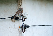 Little Owl In House Ruin, Athe...