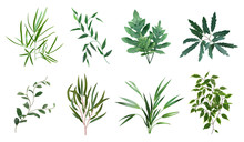 Green Realistic Herbs. Eucalyp...