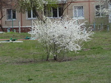 Blooming Plum, Plum Tree, White Flowers On A Tree In Spring, Spring, Blossomed Flowers