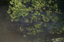 Salix Alba Spring Seasonal