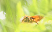 Close-up Of Skipper Butterfly Amidst Plants