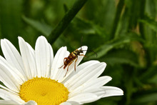 Close-up Of Longhorn Beetle On Oxeye Daisy