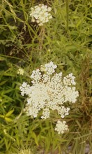 Close-up Of Queen Annes Lace Blooming On Field
