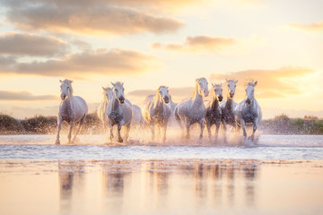 Wild white horses of Camargue running on water at sunset. Southern France