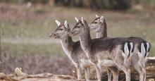 Three Deer In Woods