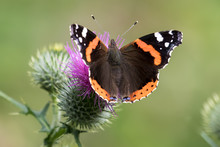 Close-up Of Red Admiral Butterfly On Thistle