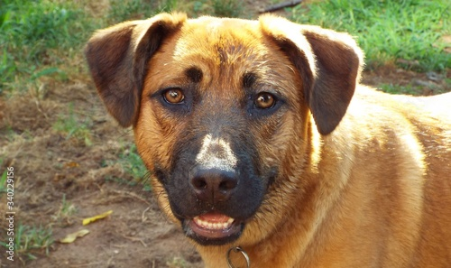 Fotografia Close-up Portrait Of Black Mouth Cur