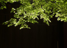 Green Maple Leaves Shine On Th...
