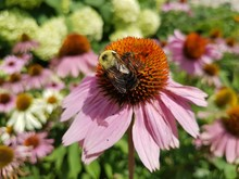Close-up Of Bee Pollinating On Coneflower