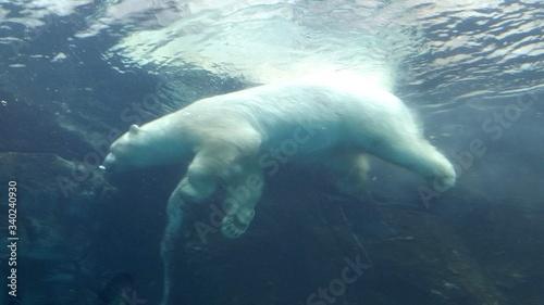 Fotografiet Polar Bear Swimming In Sea