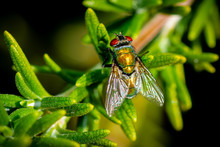 Common Green Bottle Fly, Top D...