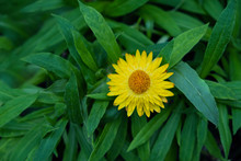 Close Up.Beautiful Yellow Colo...