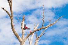Kakadu Czerwona W Australii