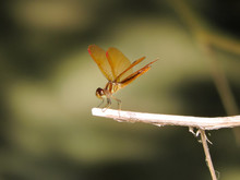 Close-up Of Orange Dragonfly On Twig