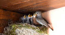 Bird Feeding Young Birds In Nest