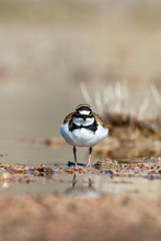 Little Ringed Plover Looking Into The Camera