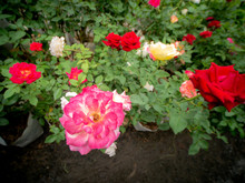 White Pink Rose Blooming With ...