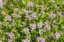 Thymus Vulgaris Or Thyme Blossoming Plant