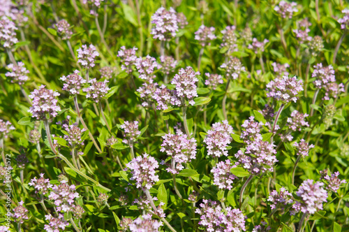Thymus vulgaris or thyme blossoming plant Canvas-taulu