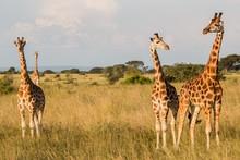Tres Jirafas En La Sabana Africana Durante Un Safari