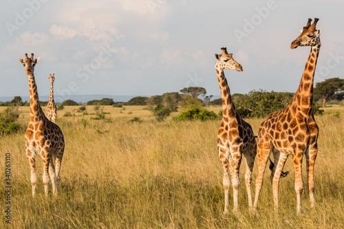 Photo Tres jirafas en la sabana africana durante un safari