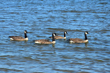 Four Canada Geese Swimming In ...